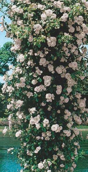 trandafir urcator