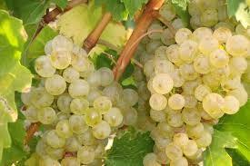 pentru vin