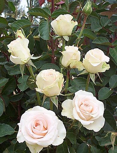 trandafir teahibrid